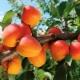Абрикосы: посадка, выращивание и уход