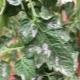 Белые пятна на листьях рассады томатов: причины и лечение
