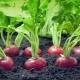 Чем подкормить редис в теплице и в открытом грунте?