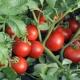 Детерминантные сорта томатов: описание, разведение и уход