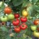 Характеристика и описание сорта томатов «Красная гвардия F1»