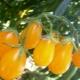 Характеристика и урожайность томатов сорта «Медовая капля F1»