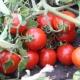 Характеристика и урожайность томатов «Земляк»