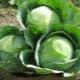 Характеристики сорта капусты «Атрия»