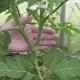 Как правильно формировать помидоры в 2 стебля?