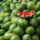 Как правильно поливать арбузы?