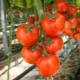 Как ухаживать за помидорами: секреты и методы выращивания