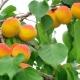 Как вырастить абрикос из косточки?