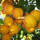 Как вырастить абрикос сорта «Орловчанин»?