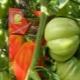 Как вырастить томат «Пузата хата»?