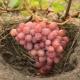 Какие сорта раннего винограда лучшие?