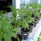 Какую температуру выдерживает рассада томатов?