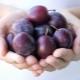 Калорийность сливы: питательность свежих и замороженных плодов