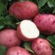 Картофель «Белая роза»: характеристика сорта и выращивание