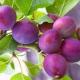Колоновидная слива «Империал»: особенности сорта и выращивание