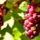 Красный виноград: сорта, польза и вред