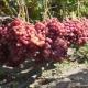 Культивирование винограда «Велес»: уход и посадка