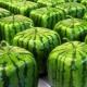Квадратный арбуз: что это такое и как вырастить?