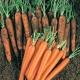 Морковь «Нантская»: правила посадки и ухода