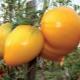 Описание и правила выращивания томата «Медовый спас»