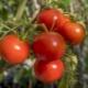 Описание и урожайность сорта томатов «Полбиг F1»