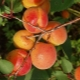 Описание самоплодного сорта абрикосов «Алёша»