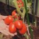 Описание сорта томатов «Великосветский F1»