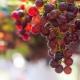 Описание сорта винограда «Багровый»