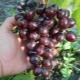 Описание сорта винограда «Подарок Несветая»