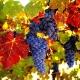 Описание сортов винограда для северных широт