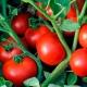 Особенности гибридного сорта томатов «Линда F1»
