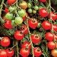 Особенности и разновидности сорта томатов черри «Вишня»