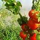 Особенности колоновидного американского сорта томатов «Палка»
