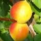 Особенности сорта абрикосов «Академик»