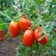 Особенности сорта томатов «Каспар F1»