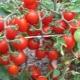Особенности томатов раннего сорта «Дюймовочка»