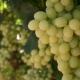 Особенности винограда «Магарач»