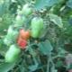 Особенности выращивания томатов «Жигало»