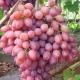 Особенности выращивания винограда «Кишмиш лучистый»