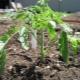 Плохо растет рассада помидоров: разбираемся в причинах и исправляем ситуацию