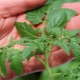 Почему рассада помидоров тонкая и бледная и что делать?