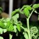 Почему у рассады помидоров скручиваются листья?