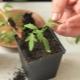 Почему у рассады томатов опадают листья?