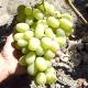 Процесс выращивания винограда в Сибири