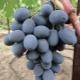 Секреты выращивания сорта винограда «Фуршетный»
