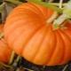 Секреты выращивания тыквы «Улыбка»