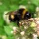 Шмелиный мед: существует ли на самом деле и как выбрать?