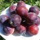 Слива «Конфетная»: характеристика сорта и особенности выращивания