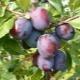 Слива «Президент»: характеристика сорта и советы по выращиванию