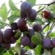 Слива «Стартовая»: характеристика плодового дерева и выращивание